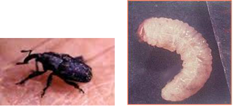 """Hasil gambar untuk Kumbang Lophobaris piperis"""""""